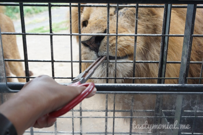 Feeding lion at African Safari Beppu