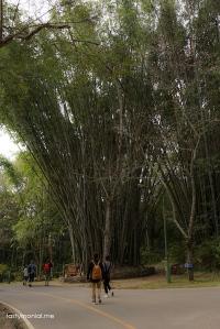 Giant Bamboo tree inside Bhubing Palace
