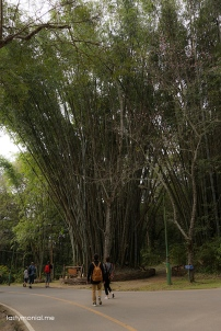 Giant Bamboo tree inside Bhubing Palace