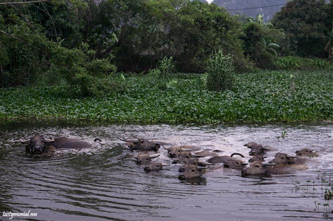 Buffalo taking a shower in the river Ninh Binh